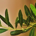 der Olivenbaumzweig