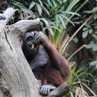 Der Orang Utang läßt es sich schmecken
