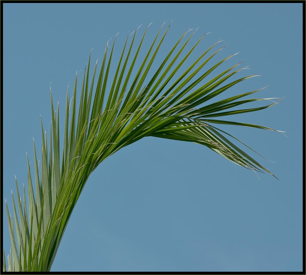 der Palmenkranich