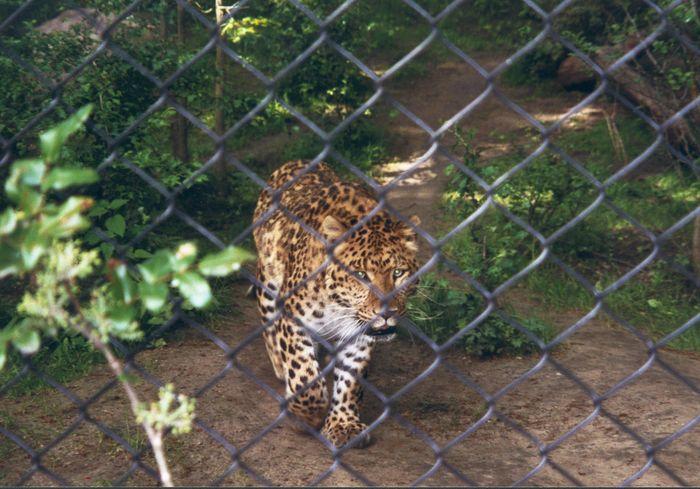 Der Panther (Leopard)