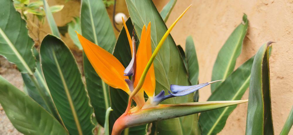 Der Paradiesvogel in meinem Garten