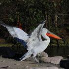 Der Pelikan genießt die Sonne