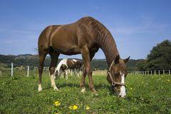 der Pferd..