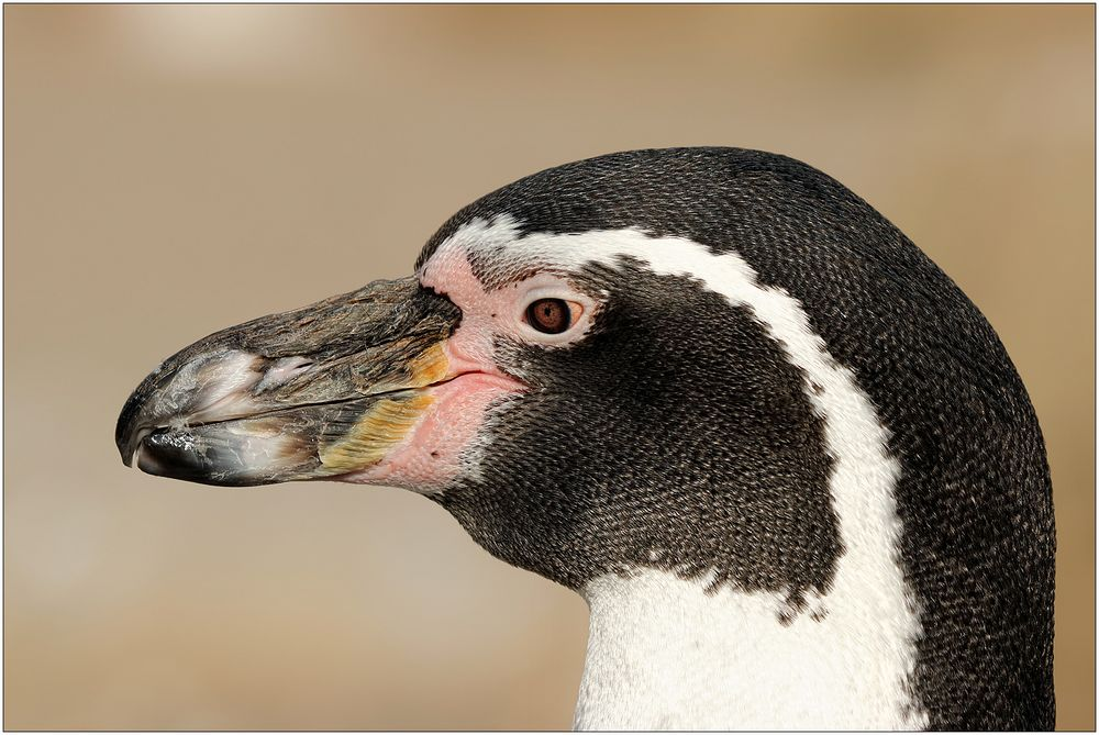 Der Pinguin...