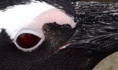 Der Pinguin der die Welt erobern will