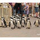 Der Pinguinmarsch im Allwetterzoo Münster