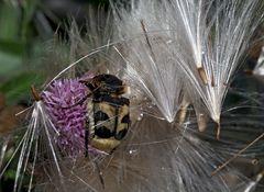 Der Pinselkäfer (Trichius fasciatus) lässt sich bauchpinseln! -  - Trichie fasciée.