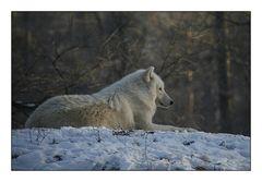 Der Polarwolf in seinem Element