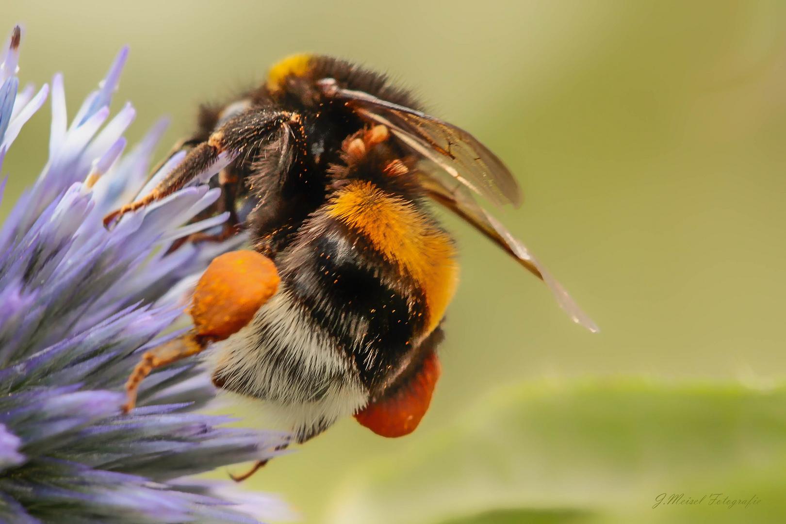 Der Pollinator