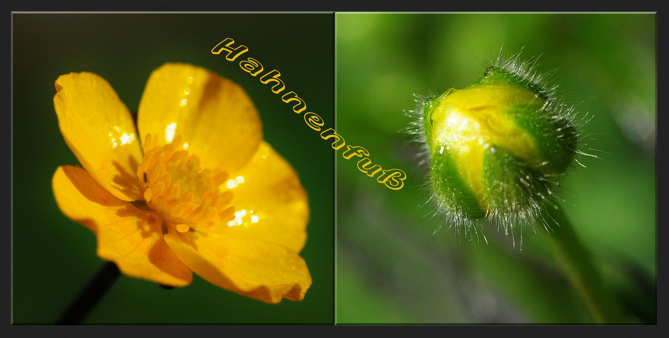 Der Ranunculus