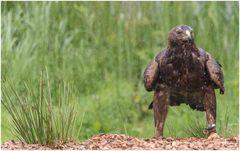 der Regen nervt nicht nur den Adler