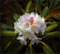 Der Rhododendron blüht ...