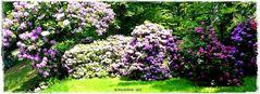 Der Rhododendron blüht im Badepark ..