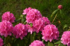 der Rhododendron blüht schon