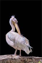 Der Rosa-Pelikan ...