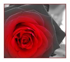 Der Rose Duft