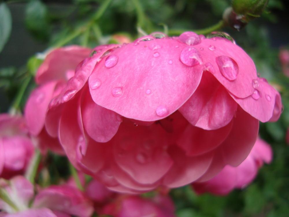 der Rosenschirm