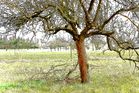 Der rote Apfelbaum
