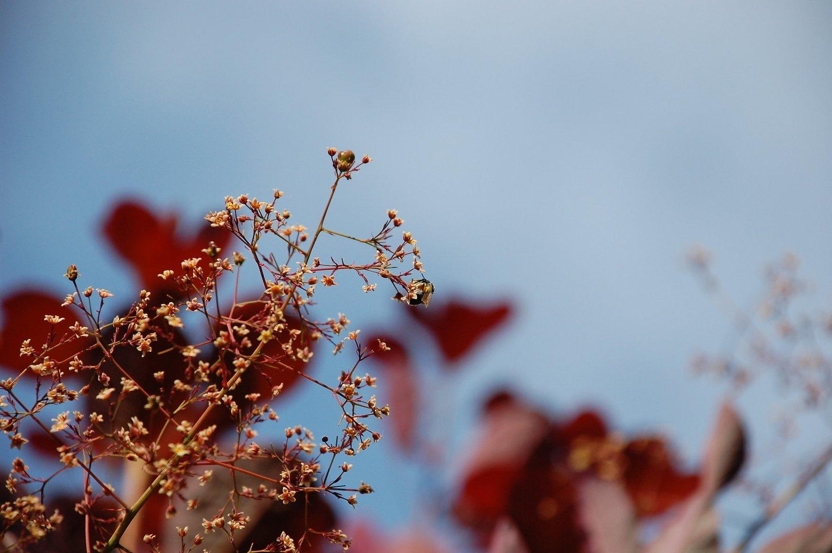 Der rote Baum - Perückenstrauch (Cotinus coggygria)