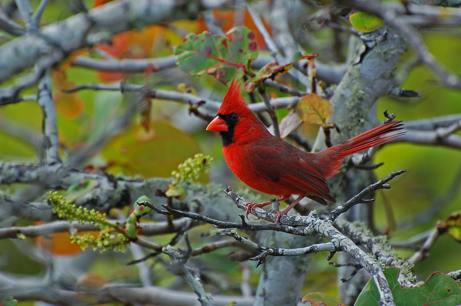 Der Rote Kardinal...
