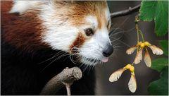 ... der Rote Panda ...