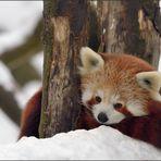 Der rote Panda im Schnee [21] ...