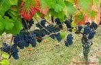 Der Rotwein 2018, wird ein guter Jahrgang.....Foto I