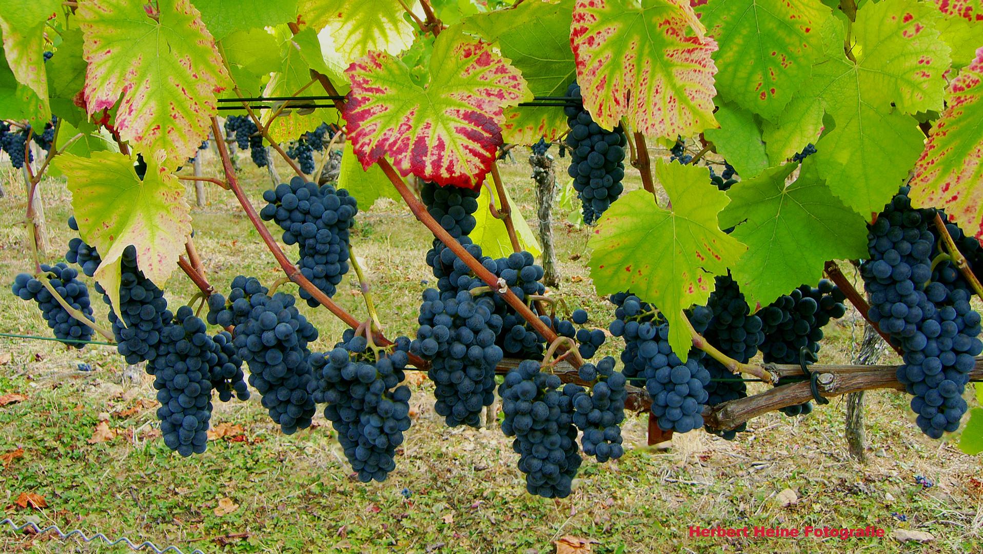 Der Rotwein 2018, wird ein guter Jahrgang.....Foto II