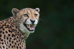 der ruf des geparden