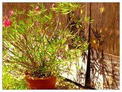 Der Schatten des Oleanders