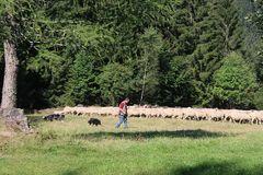 Der Scheffer und seine Herde
