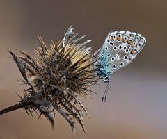 Der schlafende Himmelblaue Bläuling im November! * - Le Bel-Argus, l'Azuré bleu céleste. Il dort!