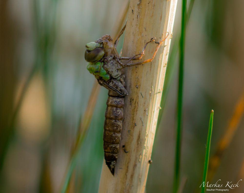 Der Schlupf einer Libelle I