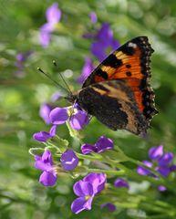 """""""Der Schmetterling 2"""""""