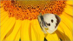 ... der Schmetterling ...