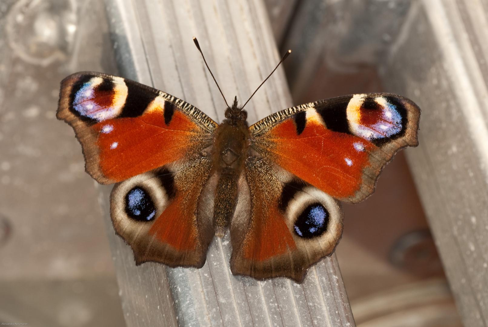 Der Schmetterling des Jahres....