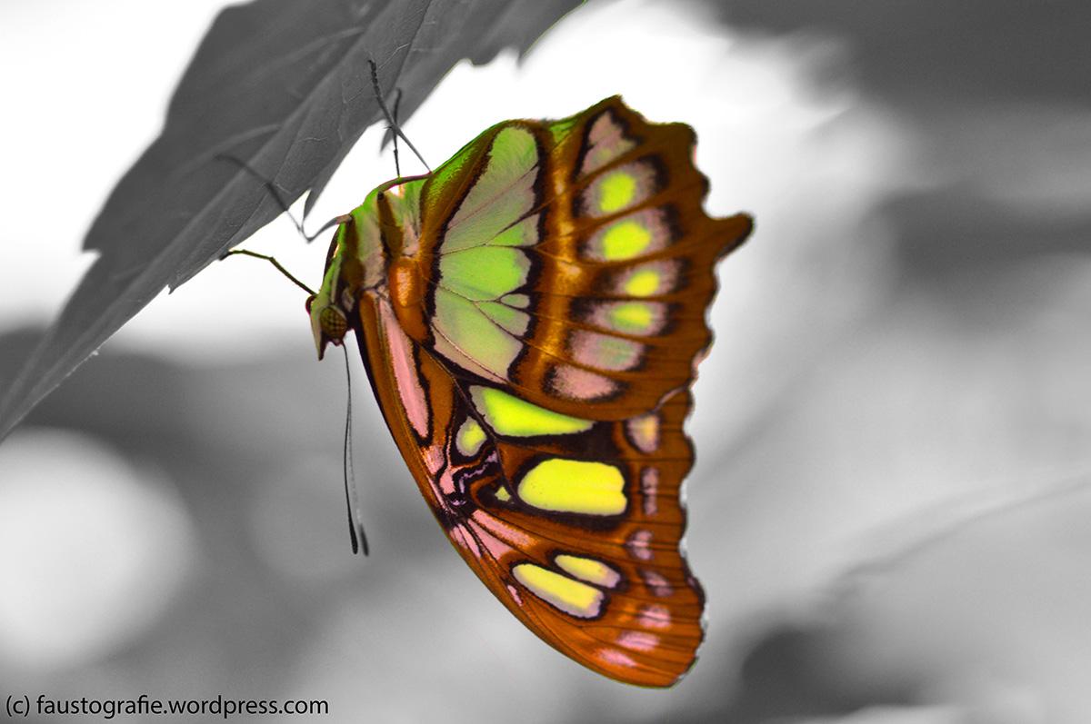 Der Schmetterling in seiner ganzen Pracht