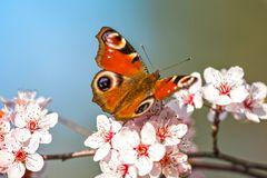 Der Schmetterling – Tagfalter 3