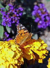 Der Schmetterling und die gelbe Blume