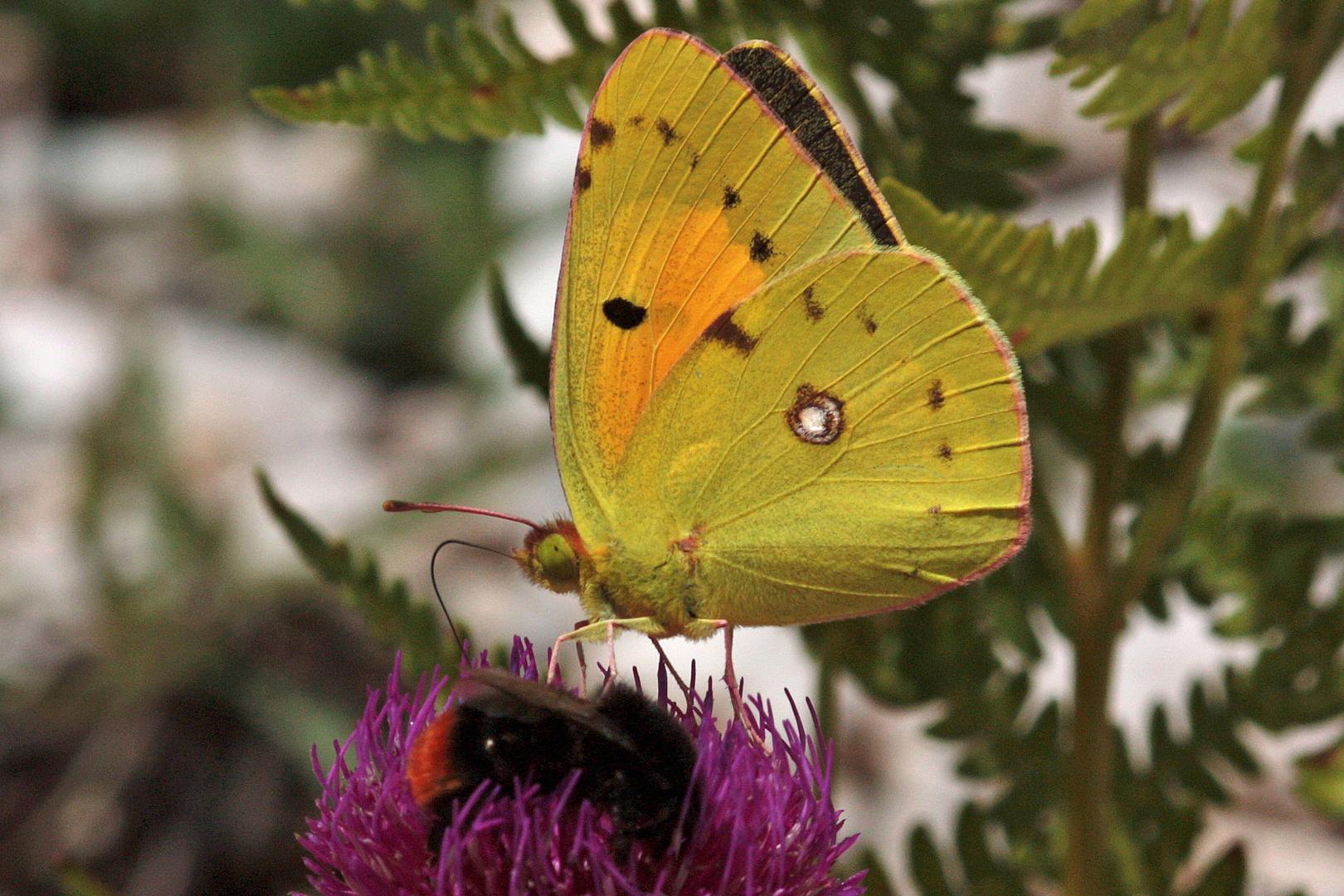 Der Schmetterlingsbriefträger