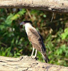 Der Schopfkarakara ist ein falkenartiger Vogel.