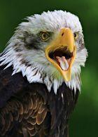 Der Schrei des Adlers