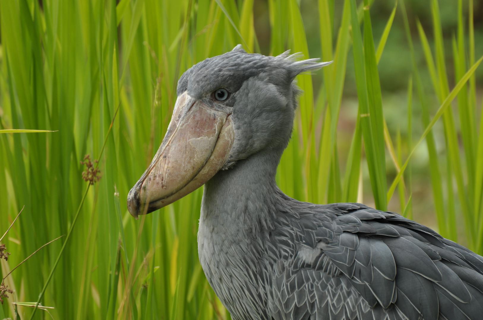 der Schuhschnabel (Vogelpark Walsrode)
