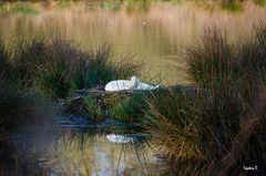 Der Schwan in seinem Nest -