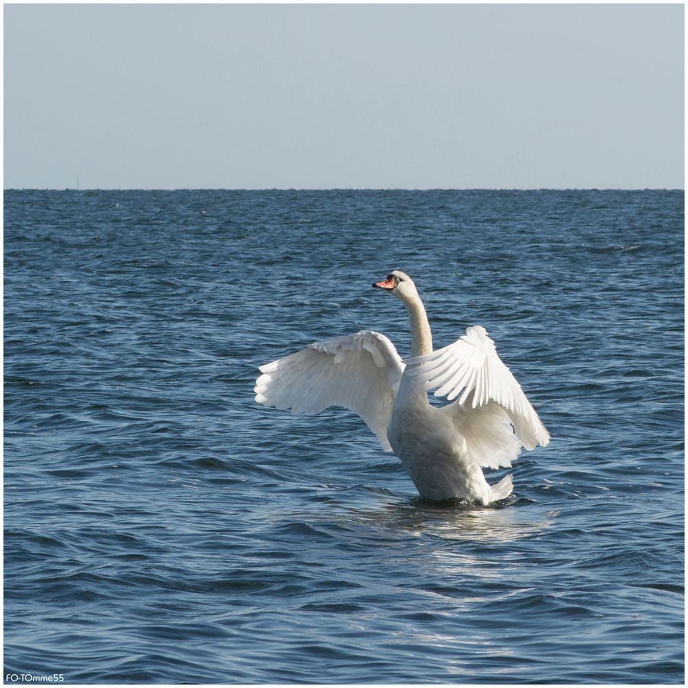 Der Schwan und das Meer (1)