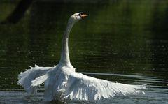 Der Schwanen-Chef vom Teich