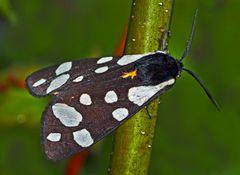 Der Schwarze Bär (Arctia villica) - L'Ecaille fermière, un papillon de nuit.