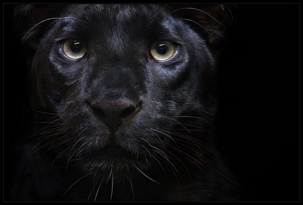 Der Schwarze Panther...