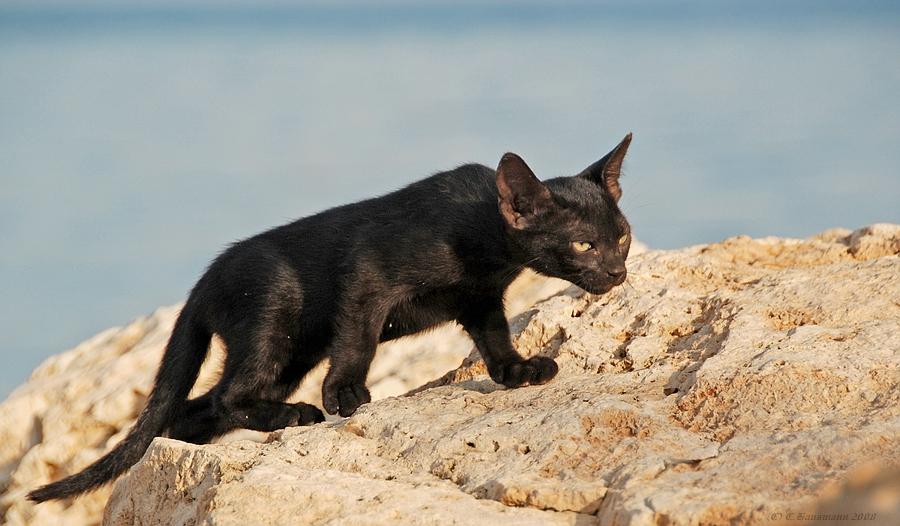 Der schwarze Panther von Mallorca auf der Pirsch