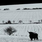 Der schwarze Stier